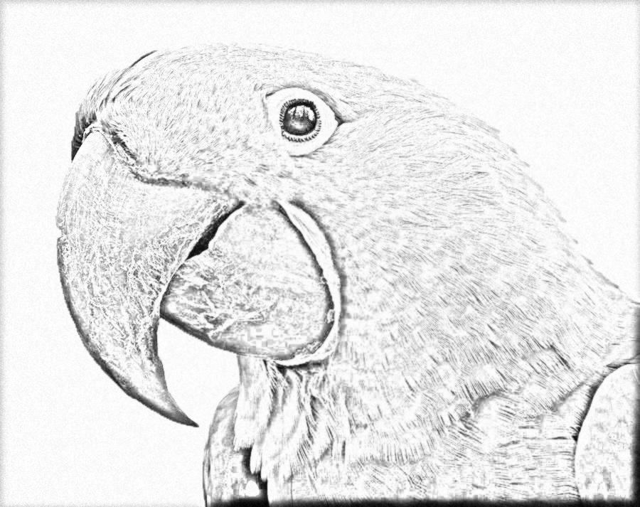 Hyacinth Macaw coloring #2, Download drawings