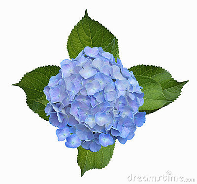 Hydrangea clipart #19, Download drawings