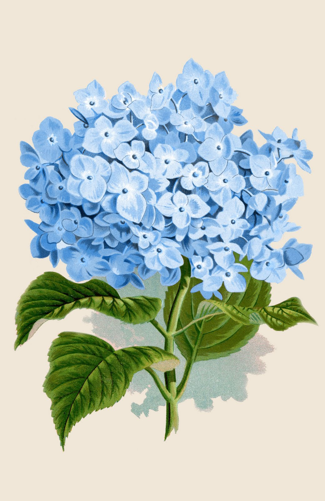 Hydrangea clipart #2, Download drawings