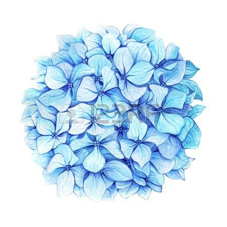 Hydrangea clipart #10, Download drawings