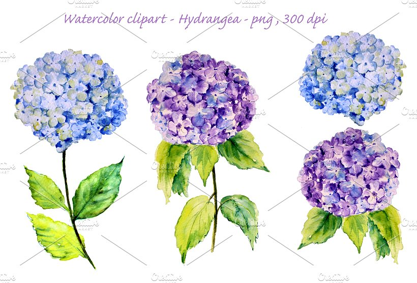 Hydrangea clipart #12, Download drawings