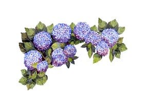 Hydrangea clipart #6, Download drawings