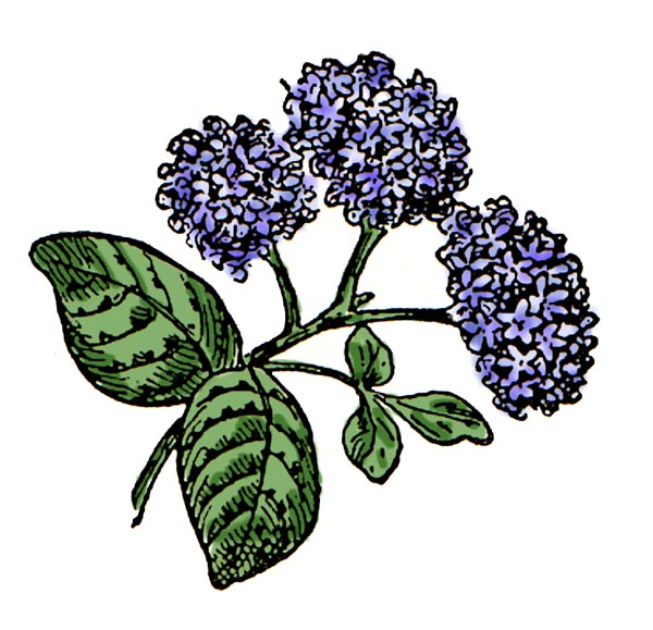 Hydrangea clipart #14, Download drawings