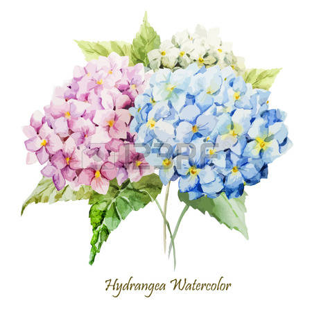 Hydrangea clipart #18, Download drawings