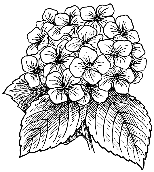 Hydrangea clipart #20, Download drawings