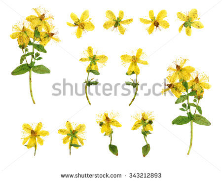 Hypericum clipart #20, Download drawings