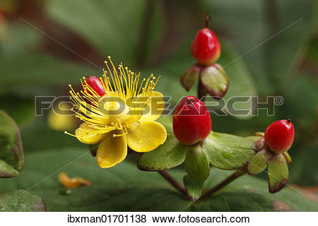 Hypericum clipart #6, Download drawings