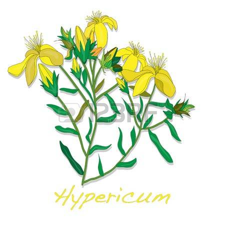 Hypericum clipart #18, Download drawings