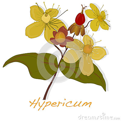 Hypericum clipart #13, Download drawings