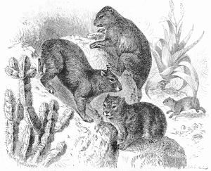 Hyrax clipart #5, Download drawings