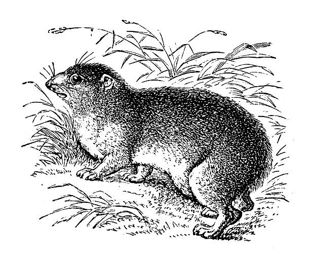 Hyrax clipart #1, Download drawings