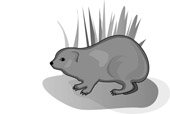Rock Hyrax clipart #18, Download drawings