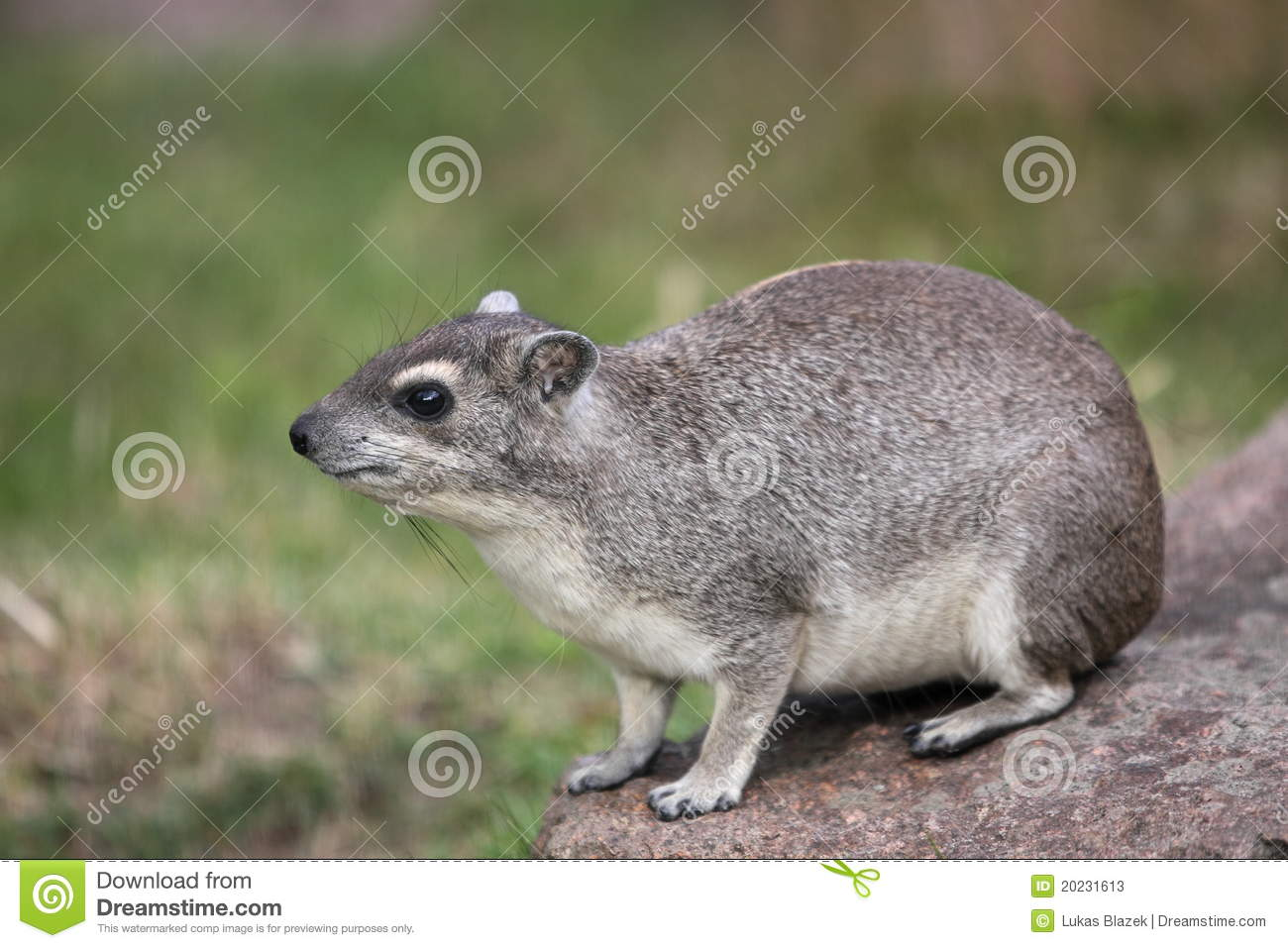 Rock Hyrax clipart #15, Download drawings
