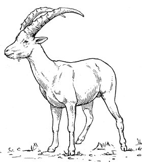 Ibex clipart #19, Download drawings