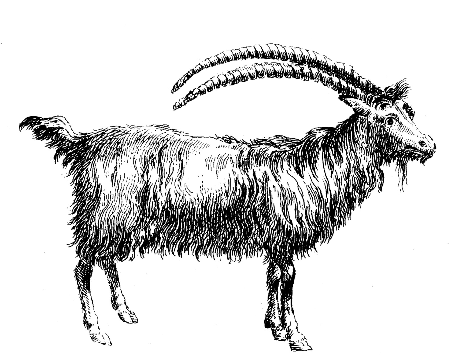 Ibex clipart #17, Download drawings