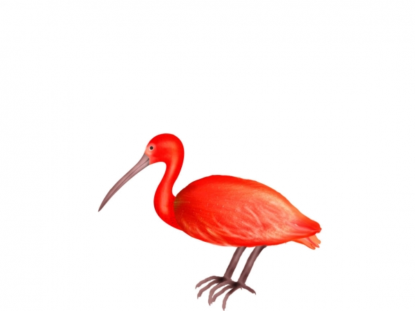 Ibis clipart #4, Download drawings