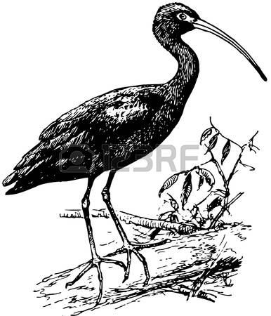Ibis clipart #7, Download drawings