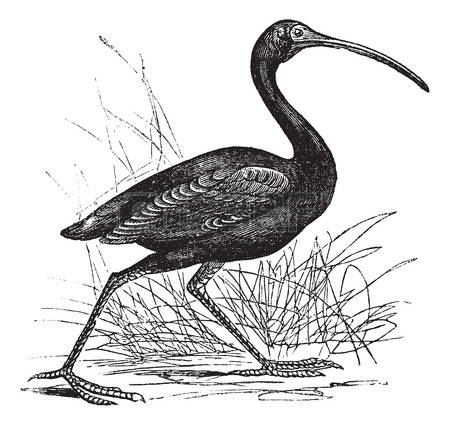 Ibis clipart #5, Download drawings