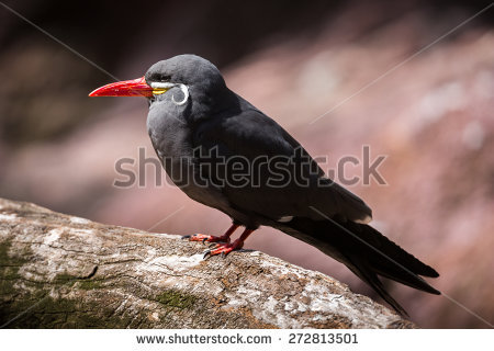 Inca Tern clipart #9, Download drawings