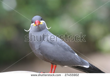 Inca Tern clipart #6, Download drawings