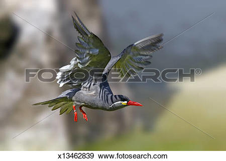 Inca Tern clipart #14, Download drawings