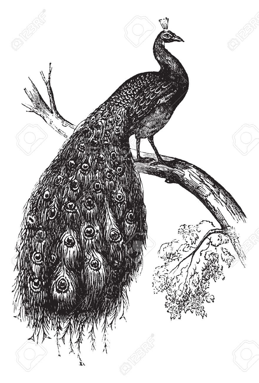 Indian Peafowl clipart #6, Download drawings