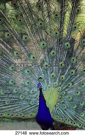 Indian Peafowl clipart #12, Download drawings