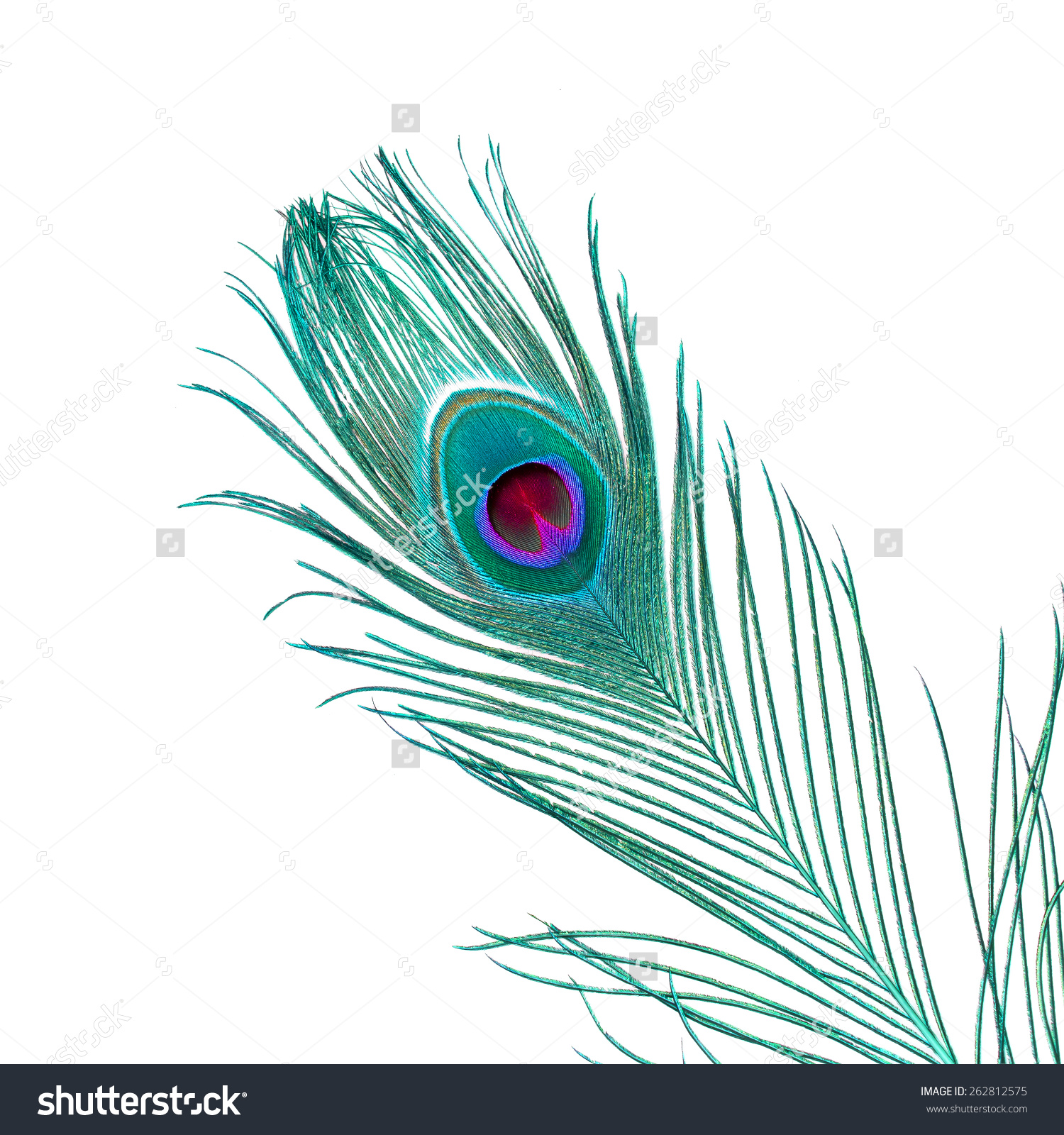Indian Peafowl clipart #3, Download drawings