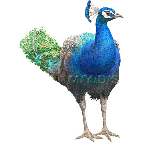Indian Peafowl clipart #5, Download drawings