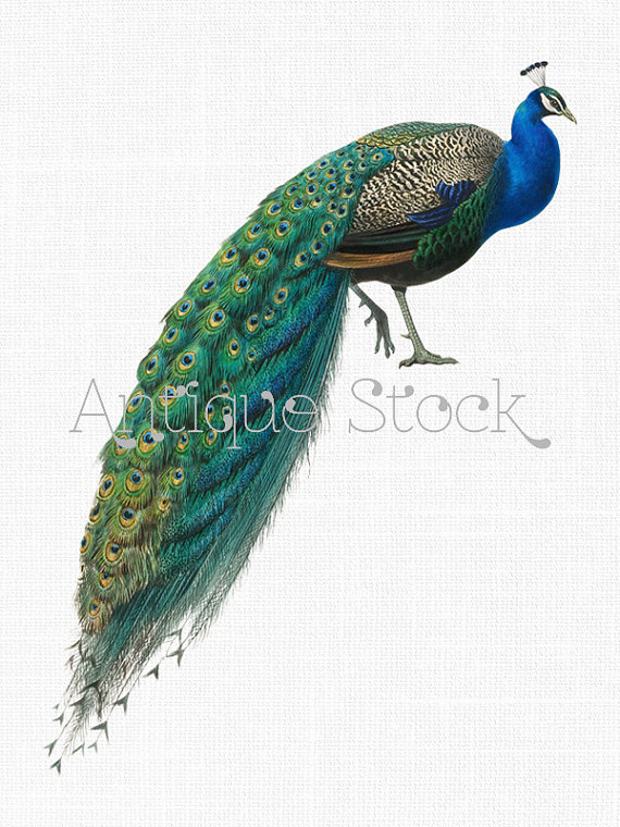 Indian Peafowl clipart #14, Download drawings