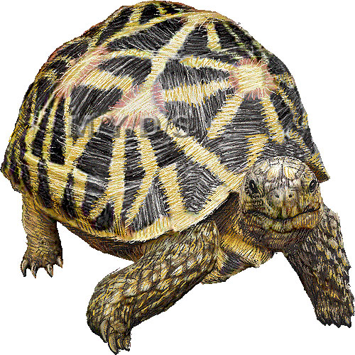Indian Star Tortoise clipart #3, Download drawings