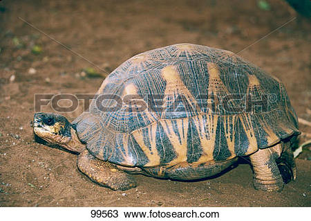 Indian Star Tortoise clipart #12, Download drawings