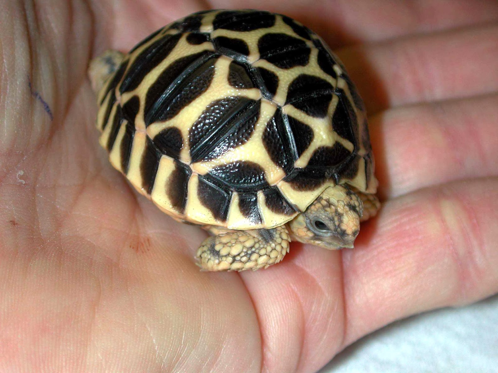 Indian Star Tortoise clipart #14, Download drawings