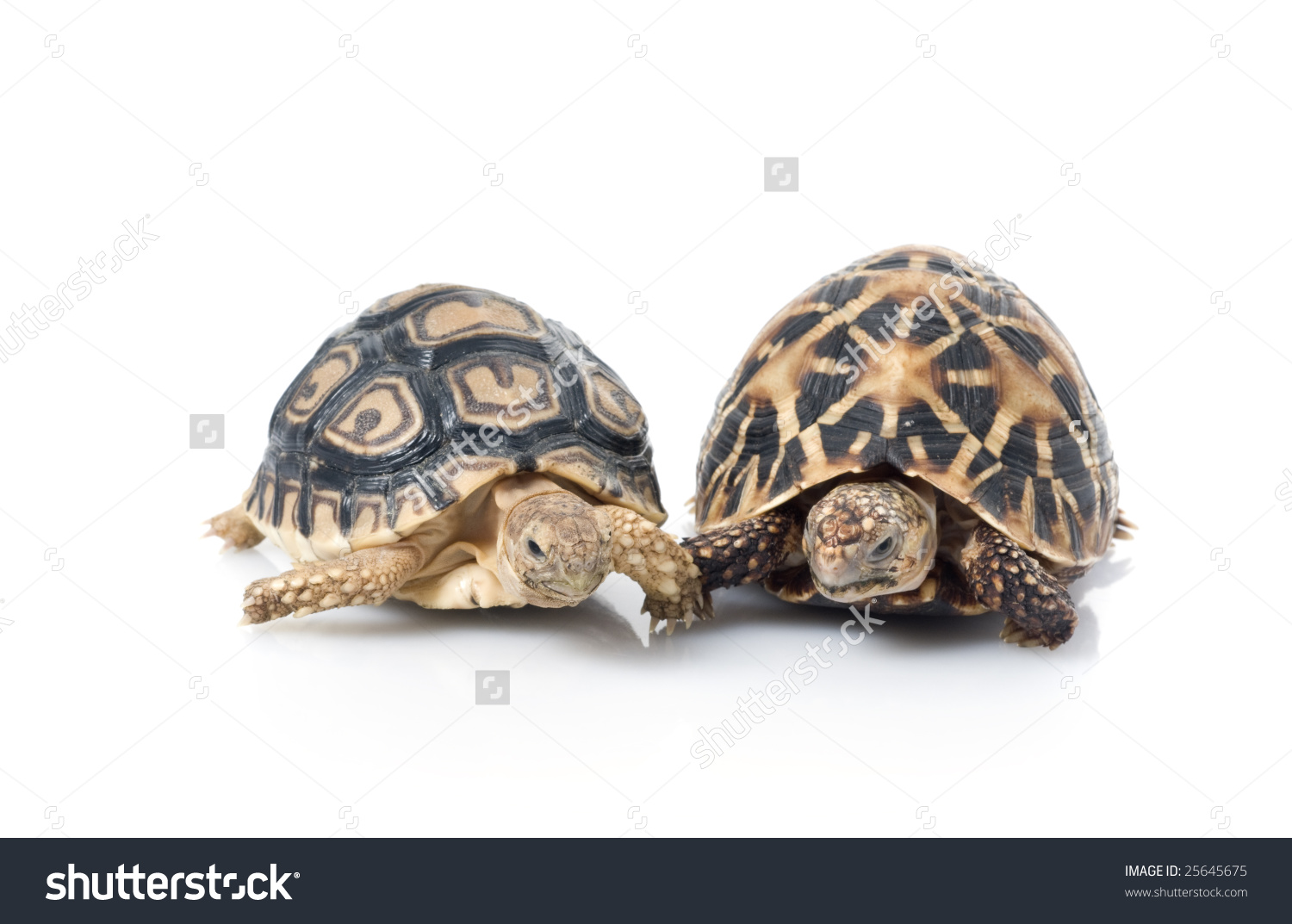 Leopard Tortoise clipart #12, Download drawings