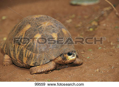 Indian Star Tortoise clipart #11, Download drawings