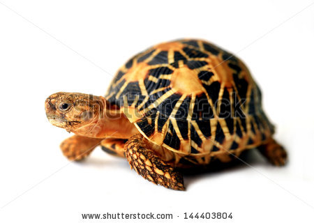 Indian Star Tortoise clipart #9, Download drawings