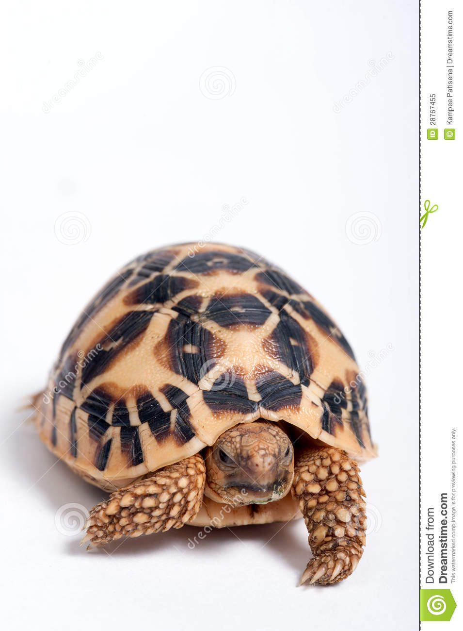 Indian Star Tortoise clipart #7, Download drawings