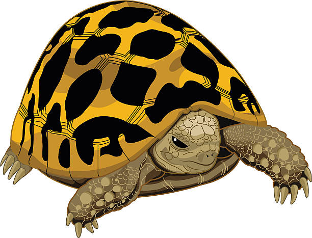Leopard Tortoise clipart #15, Download drawings