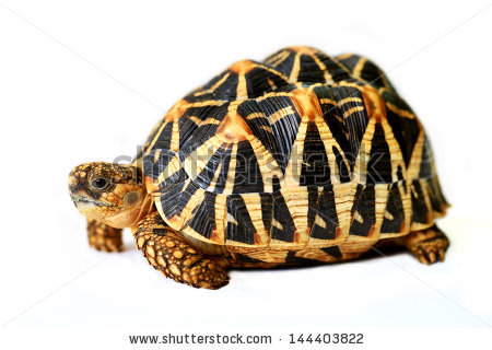 Indian Star Tortoise clipart #17, Download drawings