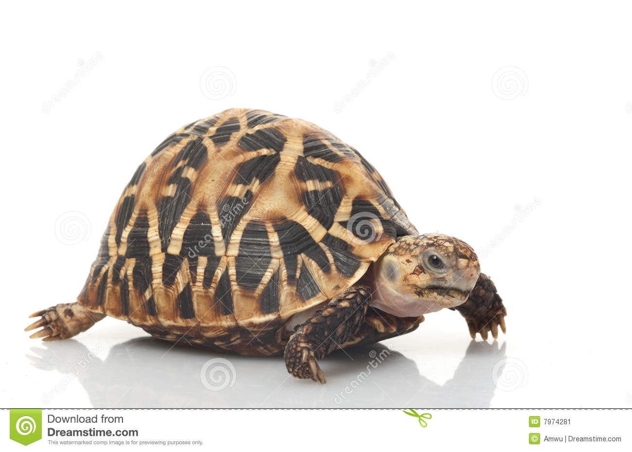 Indian Star Tortoise clipart #19, Download drawings