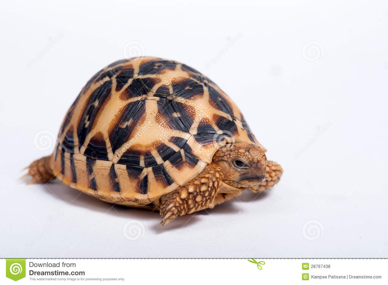 Indian Star Tortoise clipart #20, Download drawings