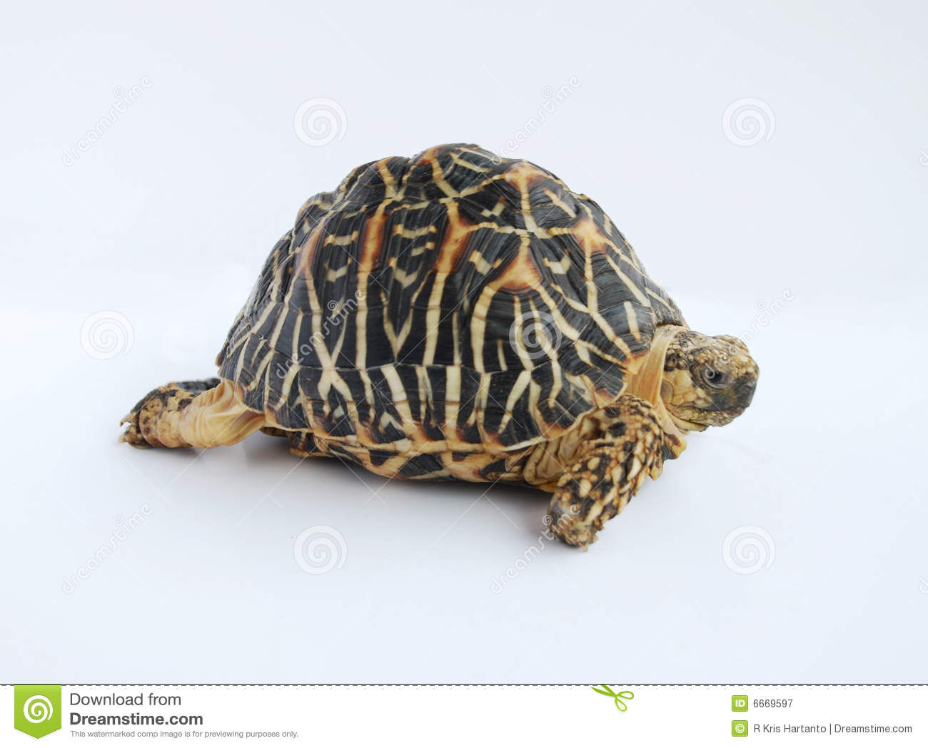 Indian Star Tortoise clipart #18, Download drawings