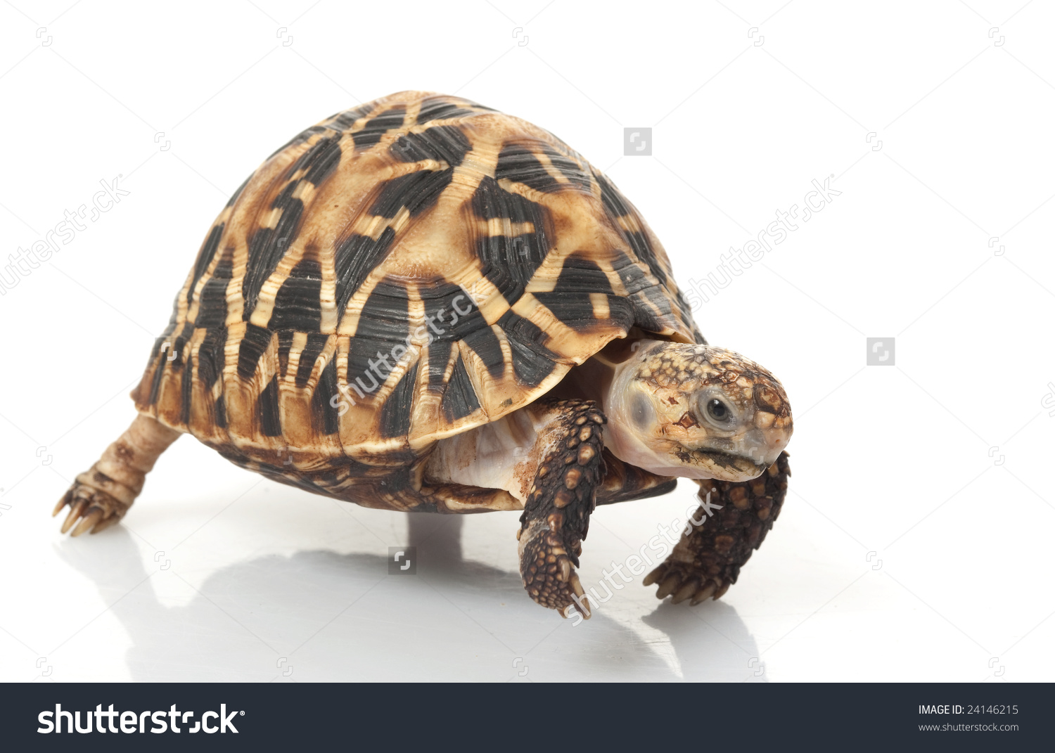 Indian Star Tortoise clipart #8, Download drawings