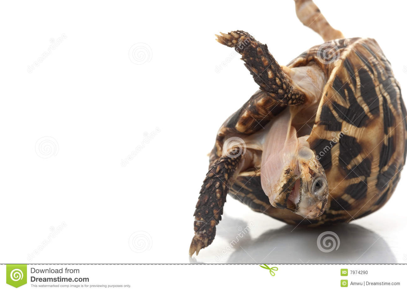 Indian Star Tortoise clipart #16, Download drawings