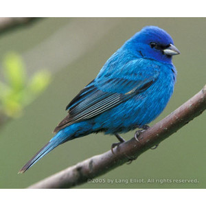 Indigo Bunting clipart #16, Download drawings