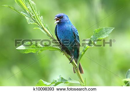 Indigo Bunting clipart #10, Download drawings