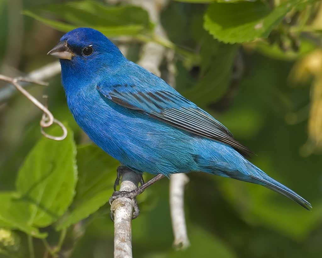 Indigo Bunting clipart #6, Download drawings