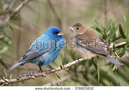 Indigo Bunting clipart #5, Download drawings