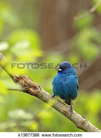 Indigo Bunting clipart #4, Download drawings