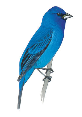Indigo Bunting clipart #20, Download drawings